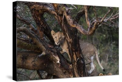 A Lion Cub, Panthera Leo, Climbing in an Acacia Tree-Sergio Pitamitz-Stretched Canvas Print