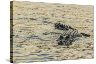 An Adult Wild Saltwater Crocodile (Crocodylus Porosus), Mitchell River National Park-Michael Nolan-Stretched Canvas Print