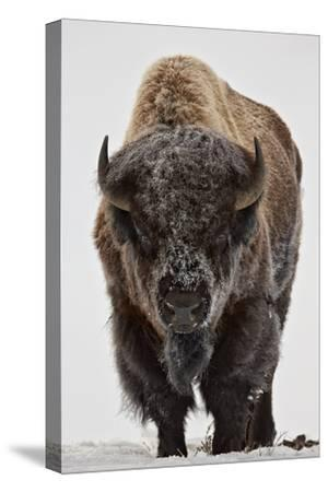 Bison (Bison Bison) Bull Covered with Frost in the Winter-James Hager-Stretched Canvas Print