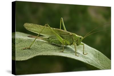 Tettigonia Viridissima (Great Green Bush-Cricket) - Female-Paul Starosta-Stretched Canvas Print