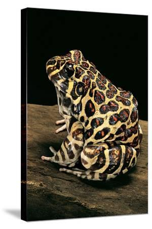 Leptodactylus Laticeps (Santa Fe Frog)-Paul Starosta-Stretched Canvas Print