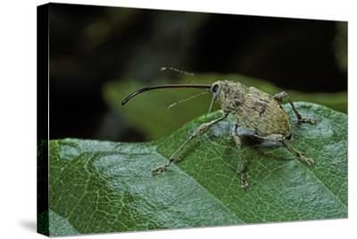 Curculio Elephas (Chestnut Weevil)-Paul Starosta-Stretched Canvas Print