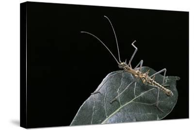 Epidares Nolimetangere (Touch Me Not Stick Insect)-Paul Starosta-Stretched Canvas Print
