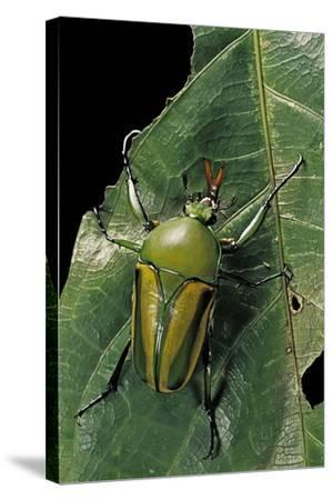 Eudicella Gralli Schultzeorum (Flamboyant Flower Beetle)-Paul Starosta-Stretched Canvas Print