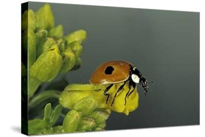 Adalia Bipunctata (Twospotted Lady Beetle)-Paul Starosta-Stretched Canvas Print