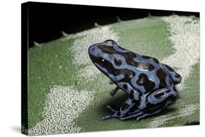Dendrobates Auratus F. Blue (Green and Black Poison Dart Frog)-Paul Starosta-Stretched Canvas Print