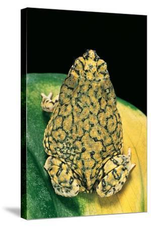 Anaxyrus Debilis (Green Toad)-Paul Starosta-Stretched Canvas Print