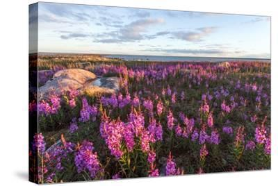 Fireweed, Hudson Bay, Canada-Paul Souders-Stretched Canvas Print