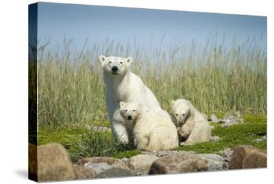 Polar Bear and Cubs, Hudson Bay, Manitoba, Canada-Paul Souders-Stretched Canvas Print