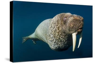 Underwater Walrus, Hudson Bay, Nunavut, Canada-Paul Souders-Stretched Canvas Print