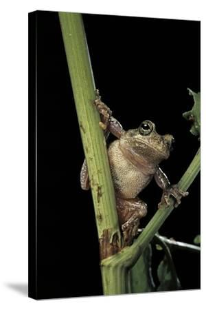 Hyla Versicolor (Gray Treefrog)-Paul Starosta-Stretched Canvas Print