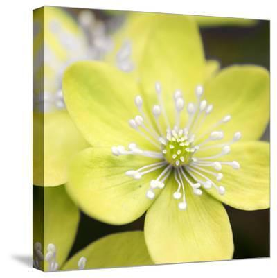 Yellow Blossom--Stretched Canvas Print