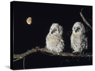 Two Owlets Perching on Tree Branch--Stretched Canvas Print