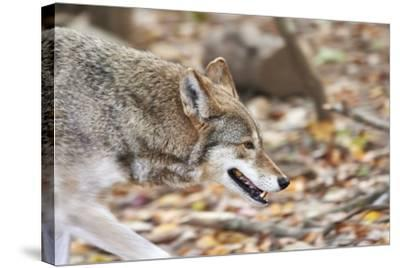 Red Wolf-Gary Carter-Stretched Canvas Print