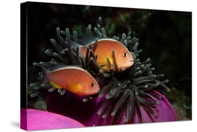 Skunk Anemonefishes (Amphiprion Sandaracinos) in a Sea Anemone, Indian Ocean, Andaman Sea.-Reinhard Dirscherl-Stretched Canvas Print