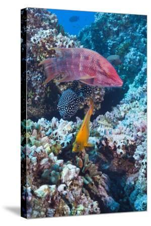 Mexican Hogfish (Bodianus Diplotaenia), Clarion Angelfish (Holacanthus Clarionensis) and Guineafowl-Reinhard Dirscherl-Stretched Canvas Print