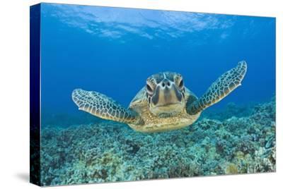 Green Turtle (Chelonia Mydas), Maui, Hawaii, USA-Reinhard Dirscherl-Stretched Canvas Print