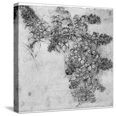 Study of a Blackberry Branch, Late 15th or Early 16th Century-Leonardo da Vinci-Stretched Canvas Print