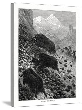 Hunting the Musk-Ox, 1877--Stretched Canvas Print