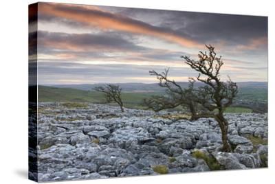 Twisted Hawthorn Trees Growing Through the Limestone Pavement on Twistleton Scar, Yorkshire-Adam Burton-Stretched Canvas Print