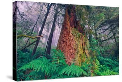 Time Tree, California Redwood Coast--Stretched Canvas Print
