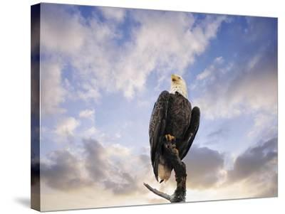 View from the Top Bald Eagle-Jai Johnson-Stretched Canvas Print