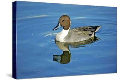 A Pintail Duck, Wide Geographic Distribution in Northern Latitudes-Richard Wright-Stretched Canvas Print