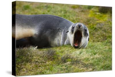 South Georgia. Stromness. Antarctic Fur Seal Pup Yawning-Inger Hogstrom-Stretched Canvas Print