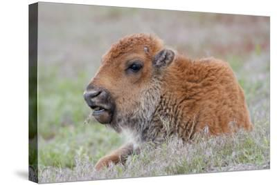 USA, Wyoming, Yellowstone National Park, Bison Calf Resting and Chewing Grasses-Elizabeth Boehm-Stretched Canvas Print