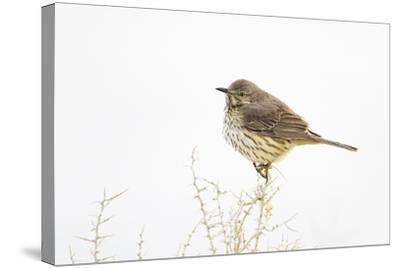 Wyoming, Lincoln County, Sage Thrasher Roosting on Bush-Elizabeth Boehm-Stretched Canvas Print