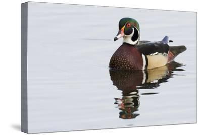 Wood Duck-Ken Archer-Stretched Canvas Print