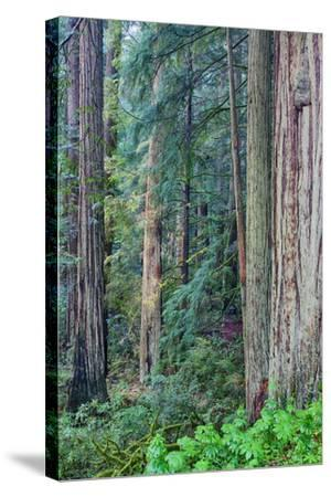 Redwood Trees in Morning Fog-Terry Eggers-Stretched Canvas Print