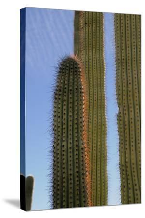 Arizona, Organ Pipe Cactus Nm. Organ Pipe Cactus Back Lit Close Up-Kevin Oke-Stretched Canvas Print
