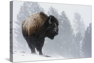 Bison Bull, Winter Storm-Ken Archer-Stretched Canvas Print