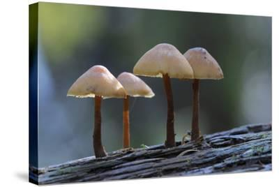 Canada, B.C, Vancouver Island. Mycena Mushrooms Growing on a Nurselog-Kevin Oke-Stretched Canvas Print