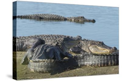 American Alligators Sunning, Myakka River, Myakka River Sp, Florida-Maresa Pryor-Stretched Canvas Print