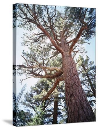California, Sierra Nevada, Inyo Nf, Old Growth Ponderosa Pine Tree-Christopher Talbot Frank-Stretched Canvas Print