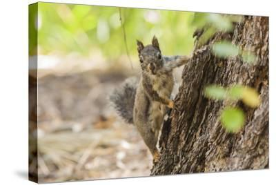 Eastern Sierra Nevada. an Inquisitive Douglas Squirrel or Chickaree-Michael Qualls-Stretched Canvas Print