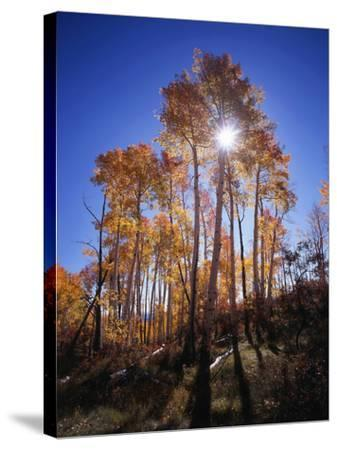 California, Sierra Nevada, Inyo Nf, Suns Rays Through Autumn Aspens-Christopher Talbot Frank-Stretched Canvas Print