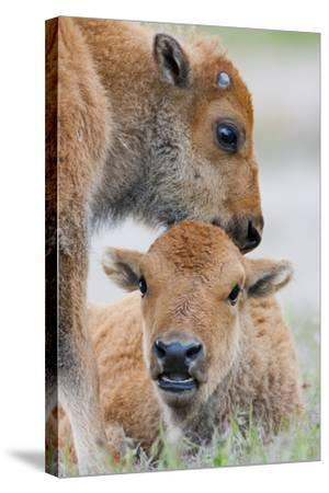 Wyoming, Yellowstone National Park, a Bison Calf Nuzzles Another to Play-Elizabeth Boehm-Stretched Canvas Print