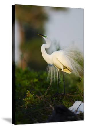 Florida, Venice, Audubon Sanctuary, Common Egret Stretch Performance-Bernard Friel-Stretched Canvas Print