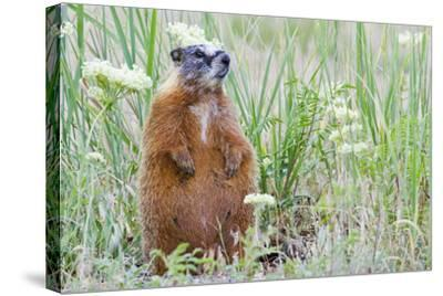 Wyoming, Yellowstone National Park, Yellow Bellied Marmot Sitting on Haunches-Elizabeth Boehm-Stretched Canvas Print