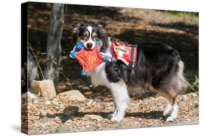 Australian Shepherd Search and Rescue Dog-Zandria Muench Beraldo-Stretched Canvas Print