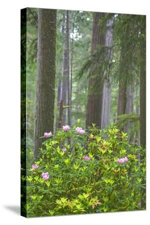 Redwood Trees and Rhododendrons in Forest-Terry Eggers-Stretched Canvas Print