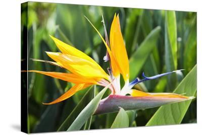 Tropical Bird of Paradise Flower in Full Bloom Oahu, Hawaii, United States of America-Design Pics Inc-Stretched Canvas Print