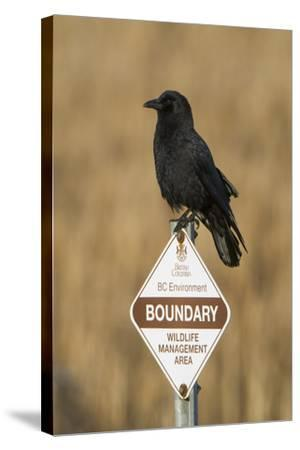 A Northwestern Crow, Corvus Caurinus, Perched on a Government Sign-Paul Colangelo-Stretched Canvas Print