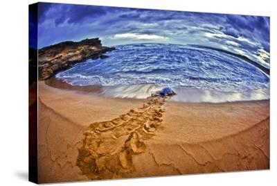 A Green Sea Turtle Entering Kawaloa Bay at Sunrise, Molokai Island-Richard Cooke-Stretched Canvas Print