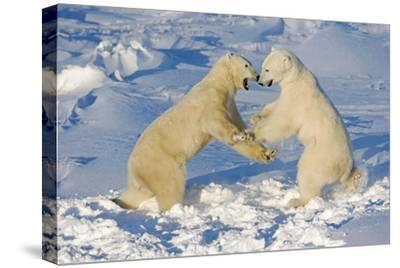 Polar Bears Wrestling and Play Fighting at Churchill, Manitoba, Canada-Design Pics Inc-Stretched Canvas Print