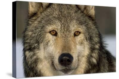Portrait of Grey Wolf Captive Alaska Se Winter-Design Pics Inc-Stretched Canvas Print