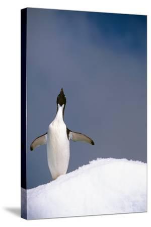 Portrait of Single Adelie Penguin Atop Iceberg South Atlantic Ocean Antarctica Summer-Design Pics Inc-Stretched Canvas Print